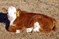 Polled Hereford Baby Calf