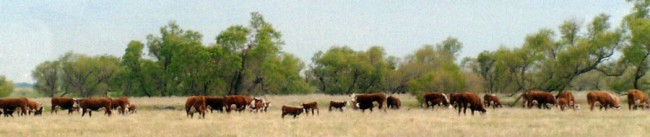 Polled Hereford Cattle Grazing